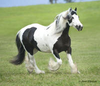 Jasmine,1996 imported Gypsy Vanner Horse mare