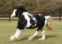 WR Toy's Joy, 2007 Gypsy Vanner Horse mare
