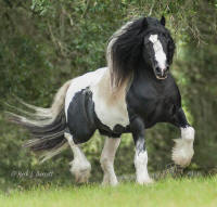 GVR Cuil, 2008 Gypsy Vanner Horse stallion
