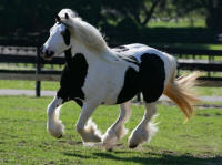 GVR Heaven Sent By The King, 2008 GYpsy Vanner Horse mare
