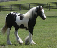 WR Heaven's Hope by Starbuck, 2014 Gypsy Vanner Horse filly