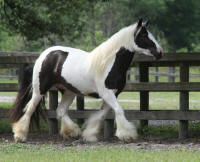 WR Olive, 2012 Gypsy Vanner Horse filly