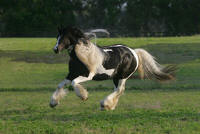 Galway's Amyette, imported Gypsy Vanner Horse mare