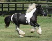WR Scout, 2015 Gypsy Vanner Horse colt