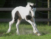 WR Sahara, 2010 Gypsy Vanner Horse filly