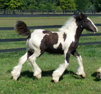 N'Co Roulette's Wheel of Fortune, 2016 Gypsy Vanner Horse colt