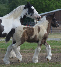 N'C Roulette's Wheel of Fortune, 2016 Gypsy Vanner Horse colt
