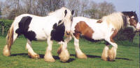 The White Faced Mare & The Red & White Mare, Gypsy Vanner Horse mares in the UK