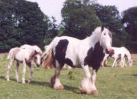 The White Faced Mare, Gypsy Vanner Horse mare in the UK
