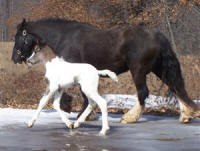Feathered Gold White Lace, 2009 Gypsy Vanner Horse filly