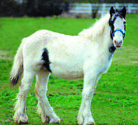 Sir William Wallace, Gypsy Vanner Horse colt
