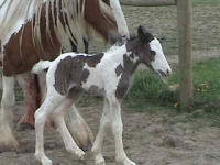 WW Seosaimhthin, Gypsy Vanner Horse filly