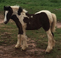 Deerinwater Wind Chime, 2015 Gypsy Vanner Horse filly