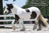 GG Wings of Glory, 2006 Gypsy Vanner Horse mare