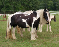 Zaria, 2002 imported Gypsy Vanner Horse mare