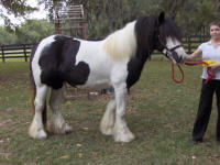 Warrior Princess, imported Gypsy Vanner Horse mare