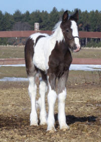 Feathered Gold Zetta Rose, 2008 Gypsy Vanner Horse filly