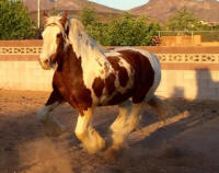 Feathered Gold Zeus, 2012 Gypsy Vanner Horse stallion