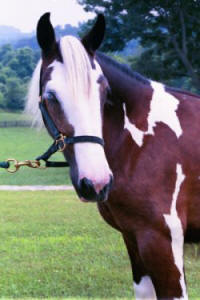 Zin, Gypsy Vanner Horse filly