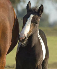 WR Zoe, 2007 Gypsy Vanner Horse filly