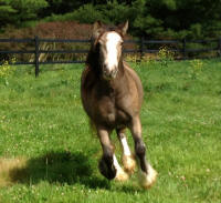 Zoey of Kastle Rock, 2009 Gypsy Vanner Horse mare