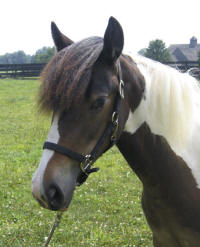 EBV Aida, 2008 Gypsy Vanner Horse filly