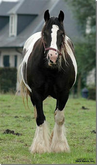 Anja, Gypsy Vanner Horse mare in Europe