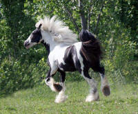 Apache, 2007 Gypsy Vanner Horse colt