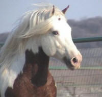 Ard Ri, imported Gypsy Vanner Horse stallion