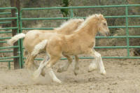 Rainbow's Ashley, 2006 Gypsy Vanner Horse filly