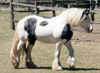 Azura, imported Gypsy Vanner Horse mare