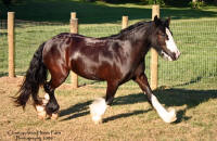 RRTF Babe, 2006 imported Gypsy Vanner Horse filly
