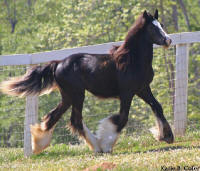 Tonka's Baksheesh, 2006 Gypsy Vanner Horse filly