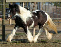 Betty, 2006 imported Gypsy Vanner Horse filly