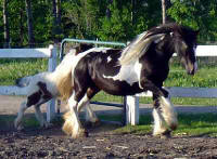 Sweet Biscuit, imported Gypsy Vanner Horse mare