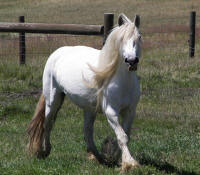 Bobbi, 1998 imported Gypsy Vanner Horse mare