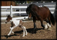 FHF Cherlindra, 2005 Gypsy Vanner Horse mare