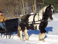 Chriona, 1999 imported Gypsy Vanner Horse mare