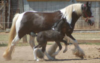 Clononeen Aifric, imported Gypsy Vanner Horse mare