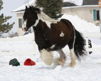 Lake Ridge Cricket, 2003 imported Gypsy Vanner Horse mare