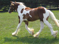 EBV Cru, 2008 Gypsy Vanner Horse filly