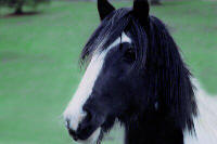 Delaney's Cross, 1999 imported Gypsy Vanner Horse mare