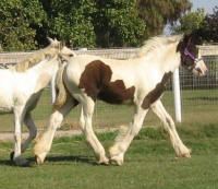 Cici's Diamond Lillie, 2009 Gypsy Vanner Horse filly