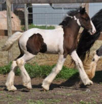 N'Co Mr. Bikers In Your Dreams, 2011 Gypsy Vanner Horse filly