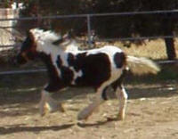 Emma, 2003 Gypsy Vanner Horse filly