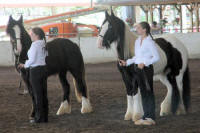 Etaine, imported Gypsy Vanner Horse mare