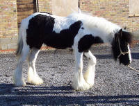 Queen Nala, 2003 imported Gypsy Vanner Horse mare