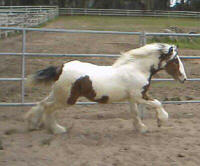 Gaelic Dancer, Gypsy Vanner Horse stallion