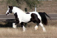 RR Royal Glamour Girl, 2008 Gypsy Vanner Horse mare