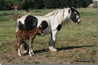 RRTF Virginia, 2007 imported Gypsy Vanner Horse filly